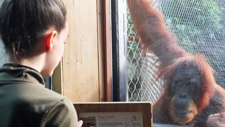 Chester Zoo is sold out but has lost £ 11.5million since the start of the pandemic.  Highlights include a baby giraffe born just a few weeks ago and a new black rhino