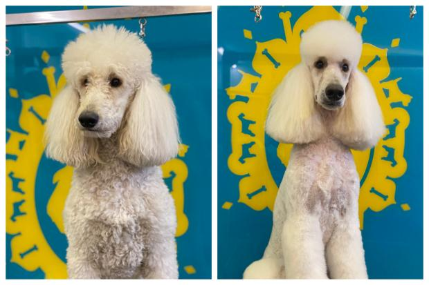 The Argus: Covid has seen a lot of people want to become a dog groomer